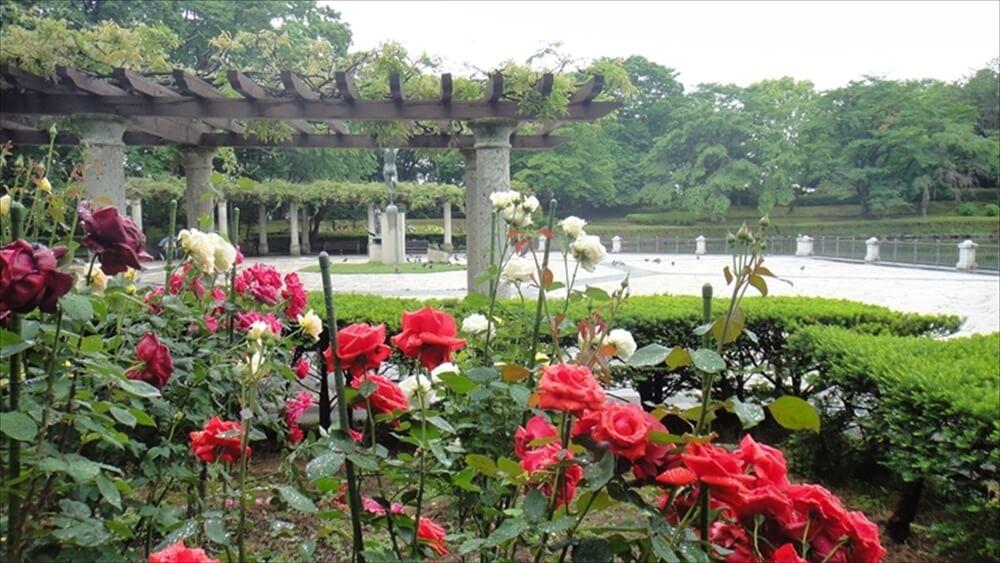 バラの植栽