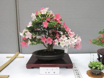 ★春のサツキ盆栽の手入れ